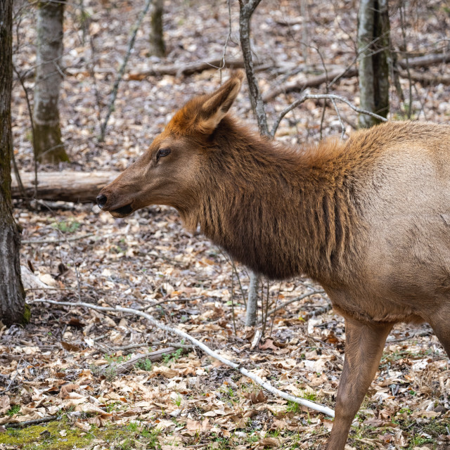 """""""closeup of a cow manitoban elk in the woods"""" stock image"""