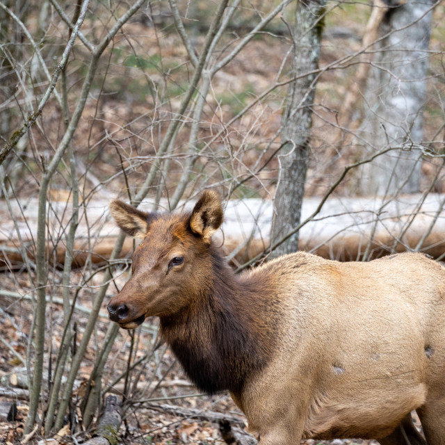 """""""close up of a manitoban elk in the woods"""" stock image"""
