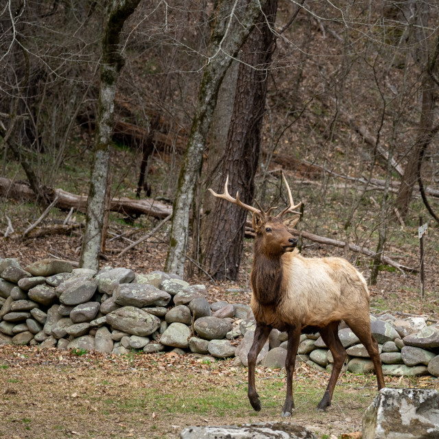 """""""bull manitoban elk in front of an old rock wall in the woods"""" stock image"""
