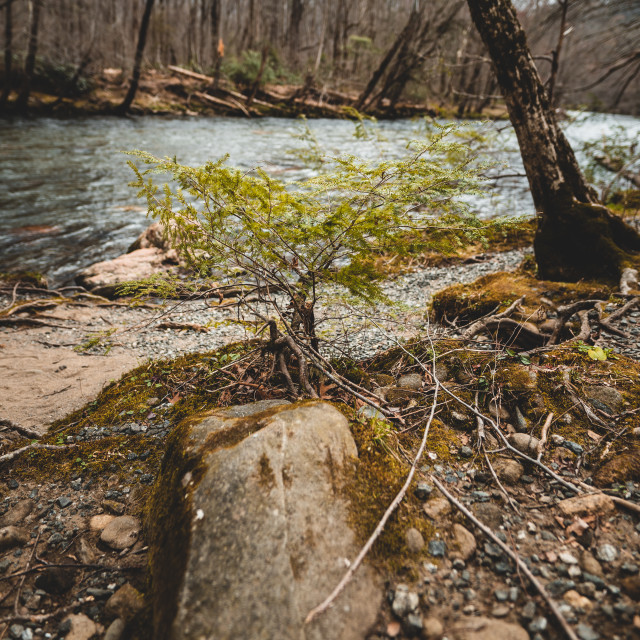 """""""small sapling growing on the bank of a river"""" stock image"""