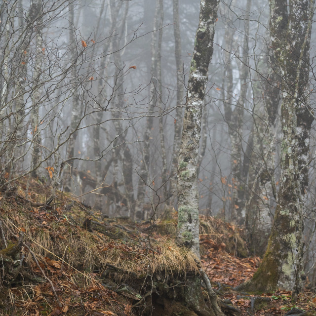 """""""mist drifting through a leave-less birch grove in the mountains"""" stock image"""