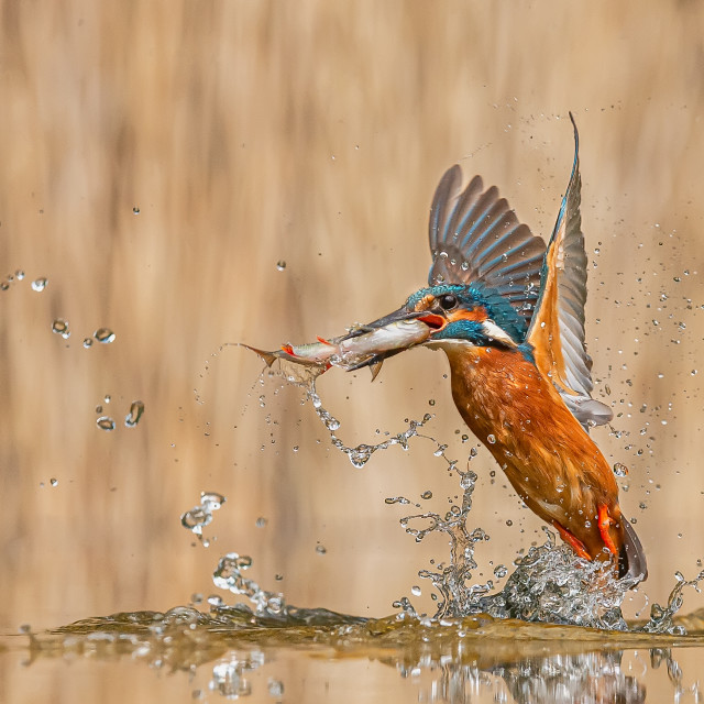 """""""Kingfisher Emerging with Fish"""" stock image"""