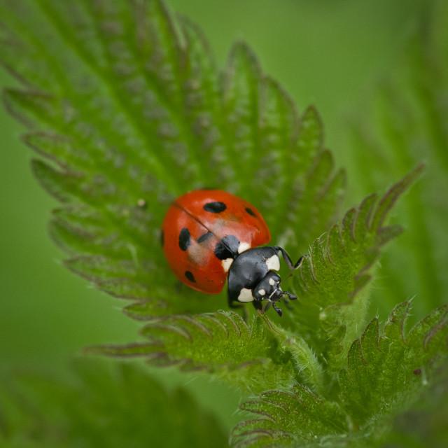 """7-spot Ladybird"" stock image"