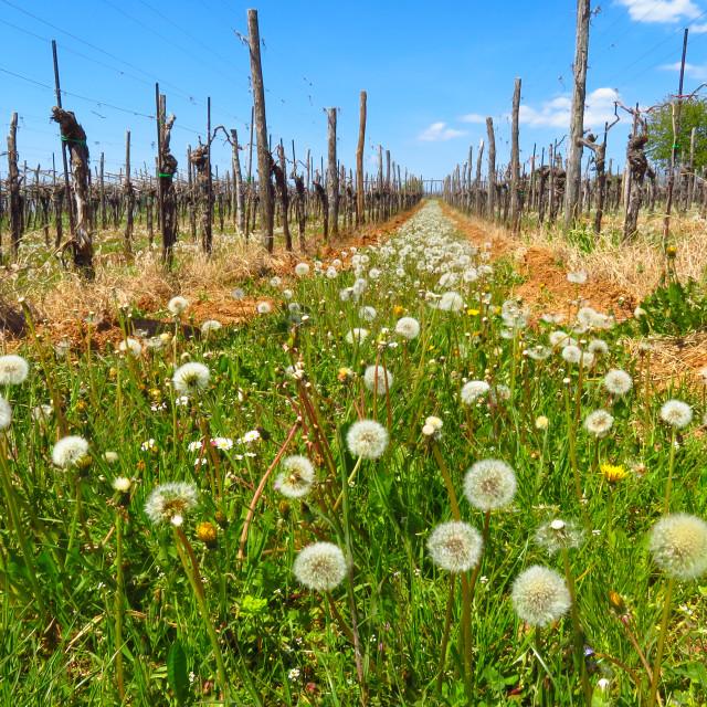 """Dandelions in the vineyard"" stock image"