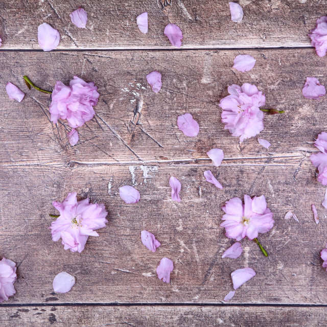 """""""Ornamental pink cherry tree blossom background on a rustic wooden table top"""" stock image"""