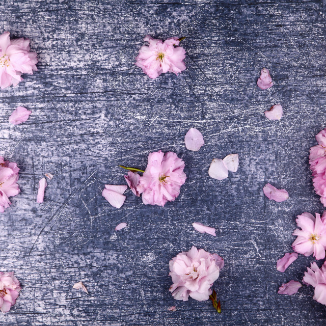 """""""Ornamental pink cherry tree blossom background on a rustic blue background"""" stock image"""