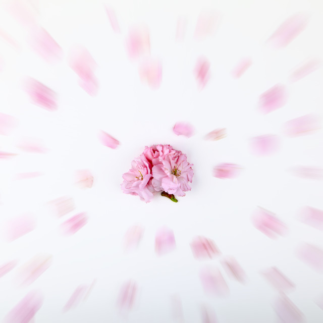 """""""Ornamental pink cherry tree blossom on a white background with a zoom burst filter applied"""" stock image"""