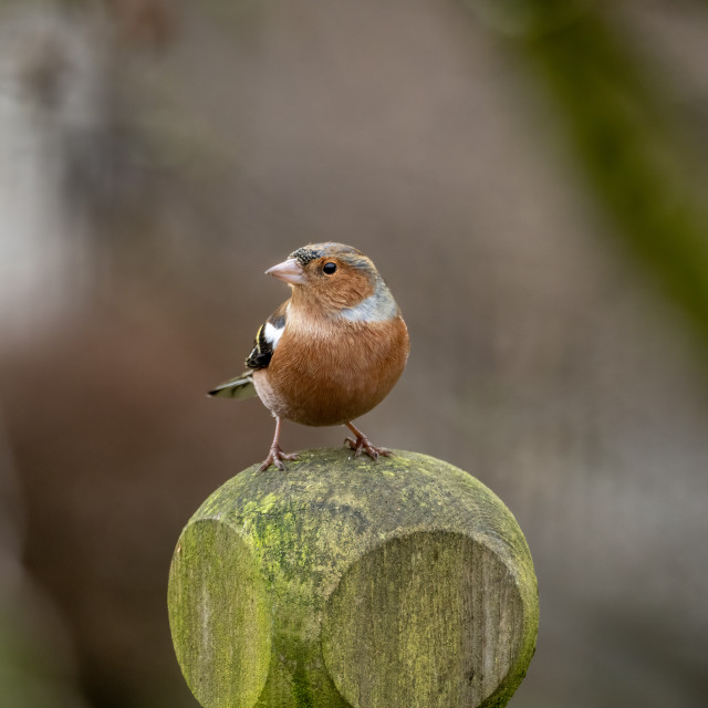 """Chaffinch."" stock image"