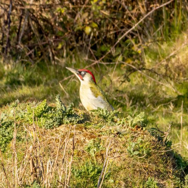 """Green Woodpecker."" stock image"