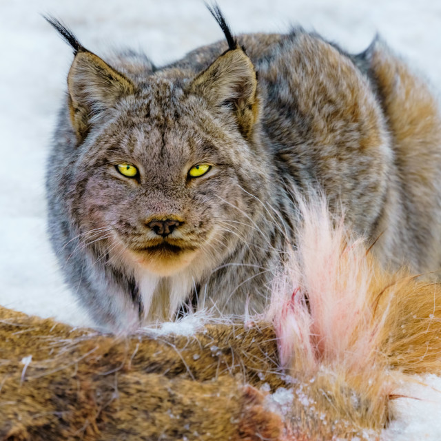 """""""Lynx Canadensis"""" stock image"""