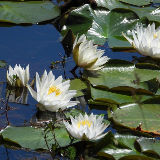 """White Waterlilies - Image 3"" stock image"