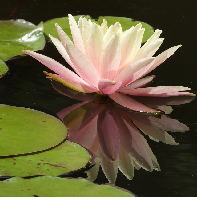 """""""Pink Waterlily Reflected"""" stock image"""
