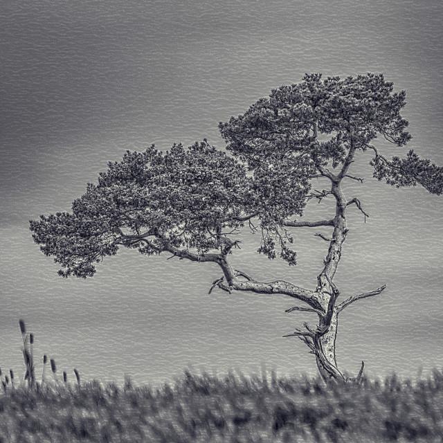 """""""Lone Cedar Tree"""" stock image"""