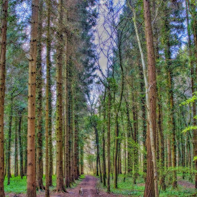 """Pine Tree Avenue - Conkwell Woods, Wiltshire, England"" stock image"
