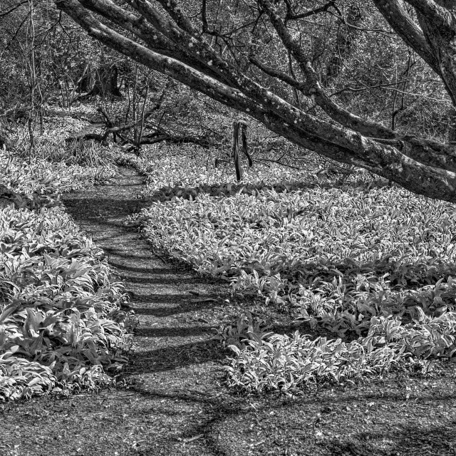 """Wild Garlic Woodland Path"" stock image"