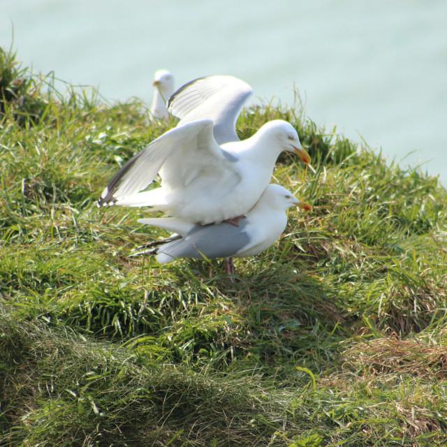 """""""Herring Gulls mating"""" stock image"""