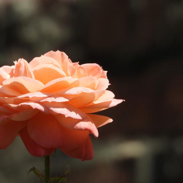 """Lone Orange Rose"" stock image"