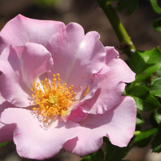 """Lavender Rose"" stock image"