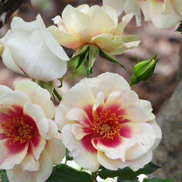 """Rose Centered Rose"" stock image"