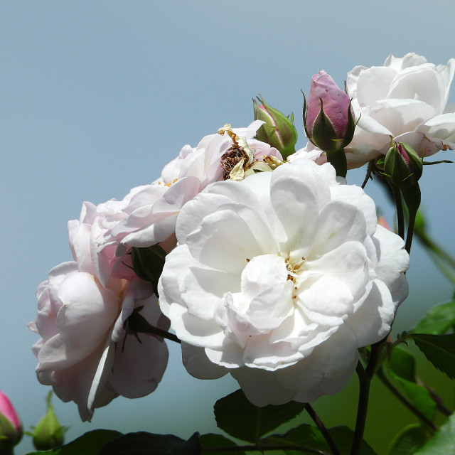"""""""White Roses and Blue Sky"""" stock image"""