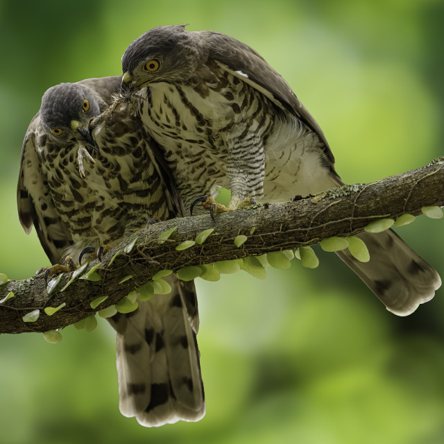 """""""Crested goshawk sharing a meal"""" stock image"""