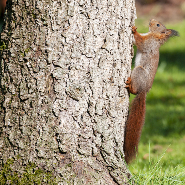 """Young Red Squirrel"" stock image"