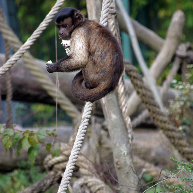 """Monkey fed by tourists in Zagreb ZOO, Croatia"" stock image"