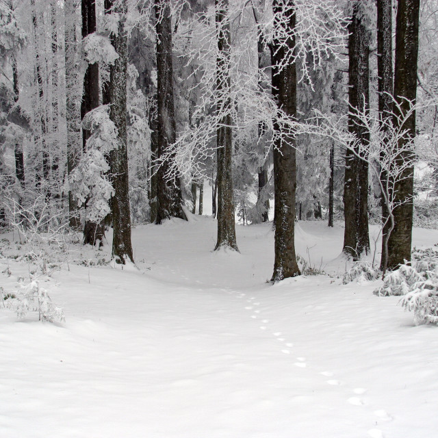 """""""Trees under the snow on the mountain Medvednica, Croatia"""" stock image"""