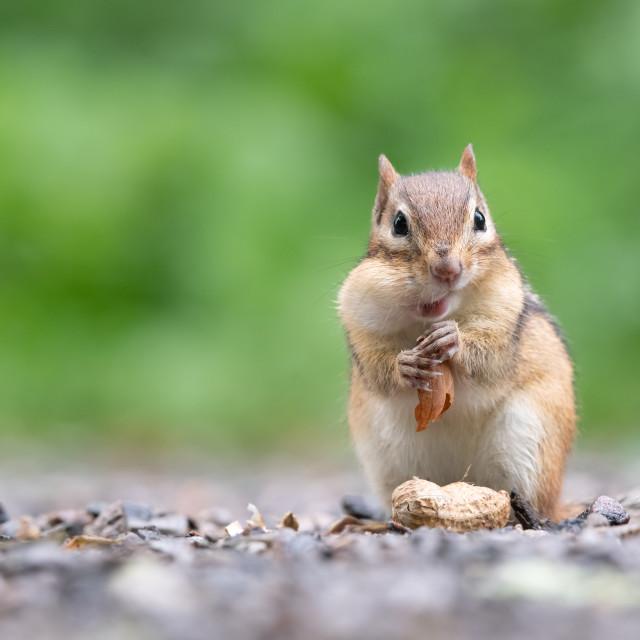 """""""Eastern Chipmunk Eats Peanut"""" stock image"""