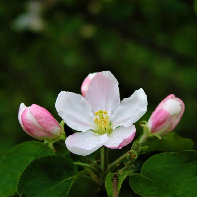 """Triple Flowers"" stock image"