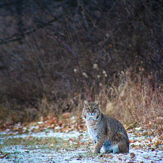"""""""Bobcat in the Day"""" stock image"""