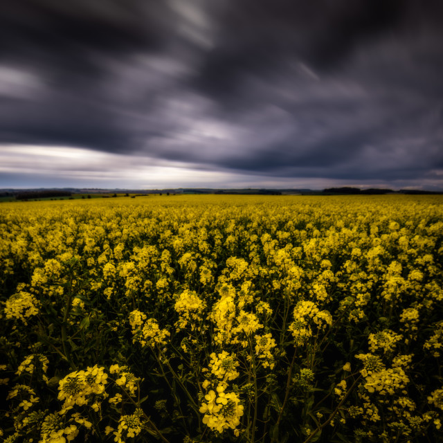 """""""Dark clouds over rapeseed field"""" stock image"""