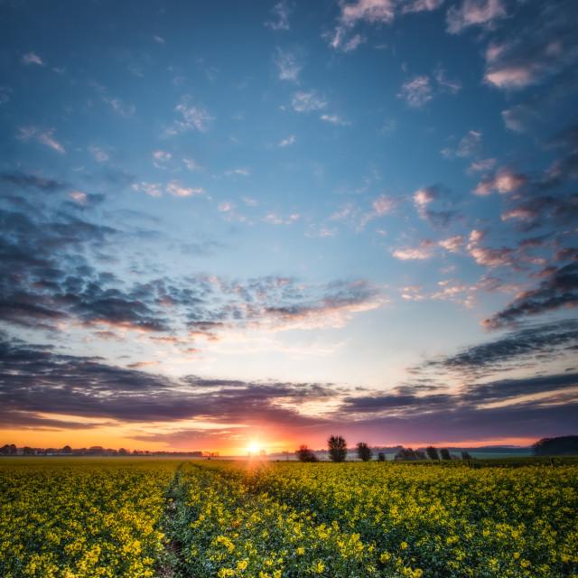 """sunrise over rapeseed field"" stock image"