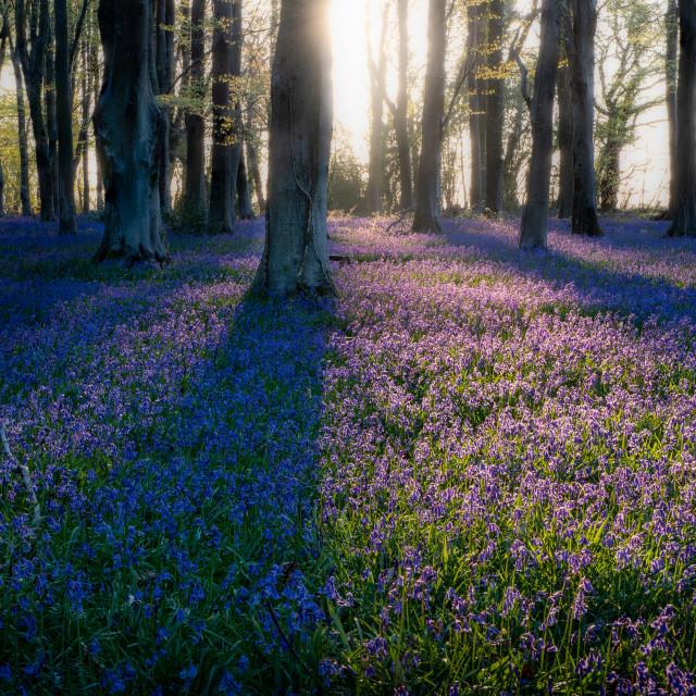 """""""Bluebells at sunrise"""" stock image"""