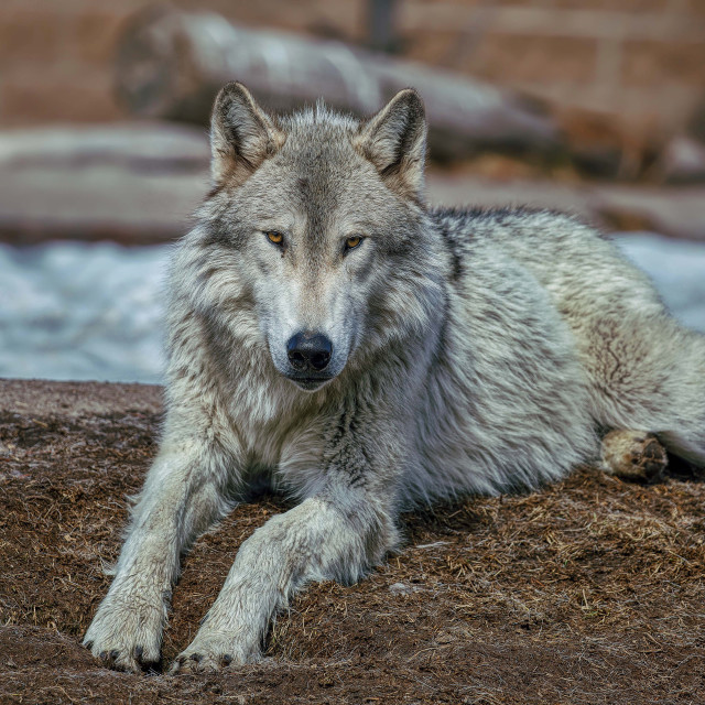 """""""animal-wolf-grizzly discovery center-yellowstone-montana"""" stock image"""
