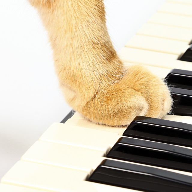 """""""Ginger tabby cat with it's paw on a piano keyboard"""" stock image"""