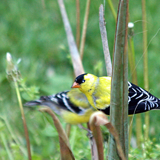 """American Gold Finch 2"" stock image"