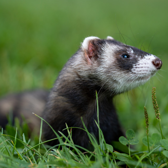"""Ferret pet portrait in the grass. Horizontal close up."" stock image"