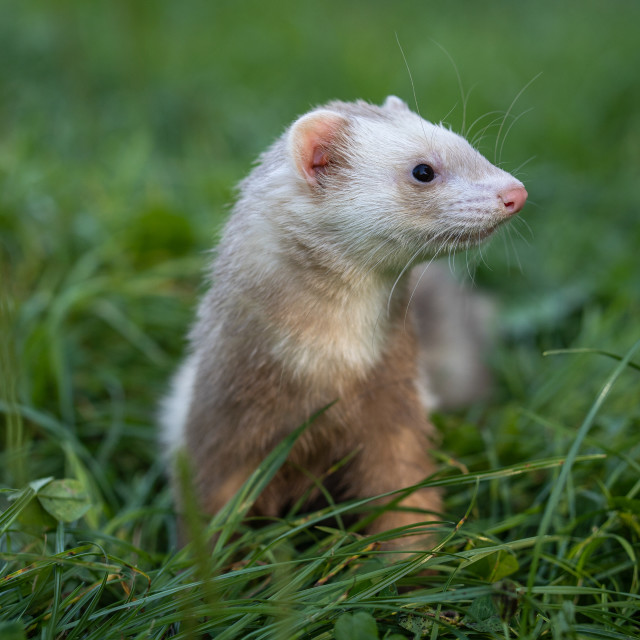 """Young ferret pet in champagne color."" stock image"