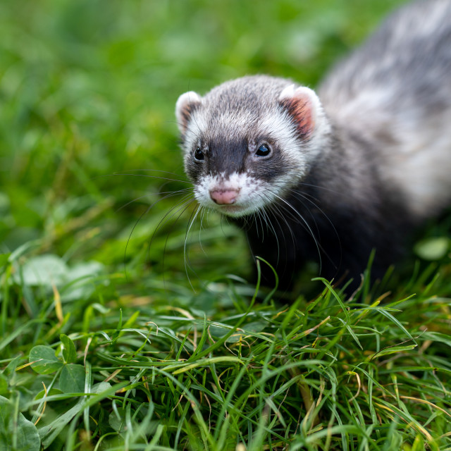 """Happy coloured ferret pet in the park."" stock image"