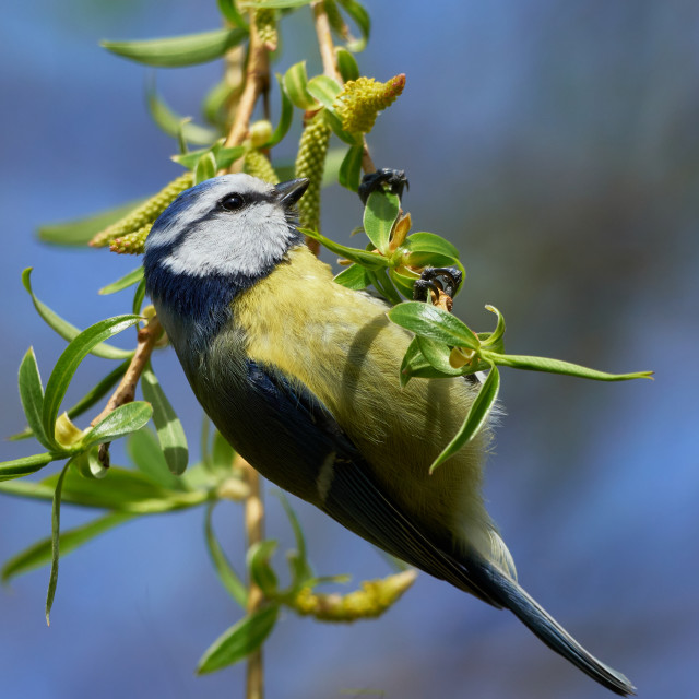 """Cute portrait of eurasian blue tit swinging on the willow twig"" stock image"