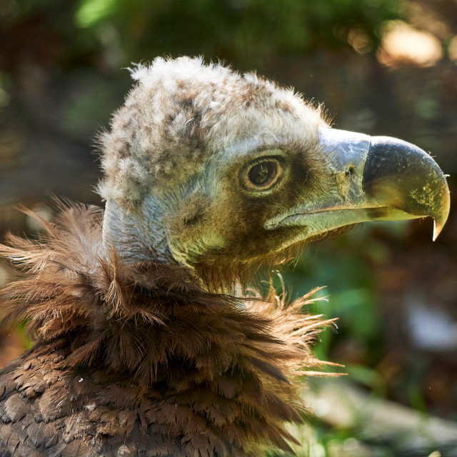 """Monk Vulture Close-up in the morning light."" stock image"