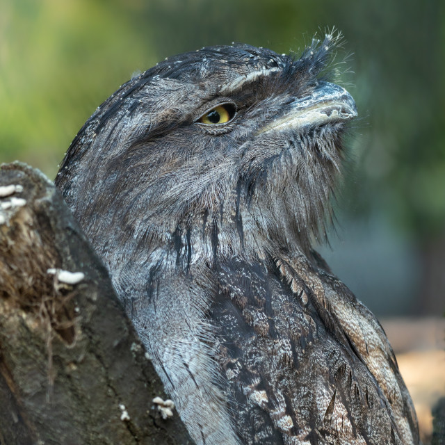 """Tawny frogmouth portrait in the summer"" stock image"