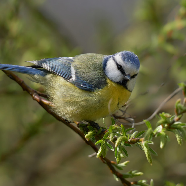 """Blue tit in the early cold spring sun (Cyanistes caeruleus)"" stock image"