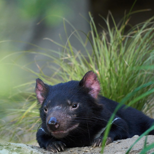 """Cute tasmanian devil resting on the sandy ground. Sarcophilus harrisii."" stock image"