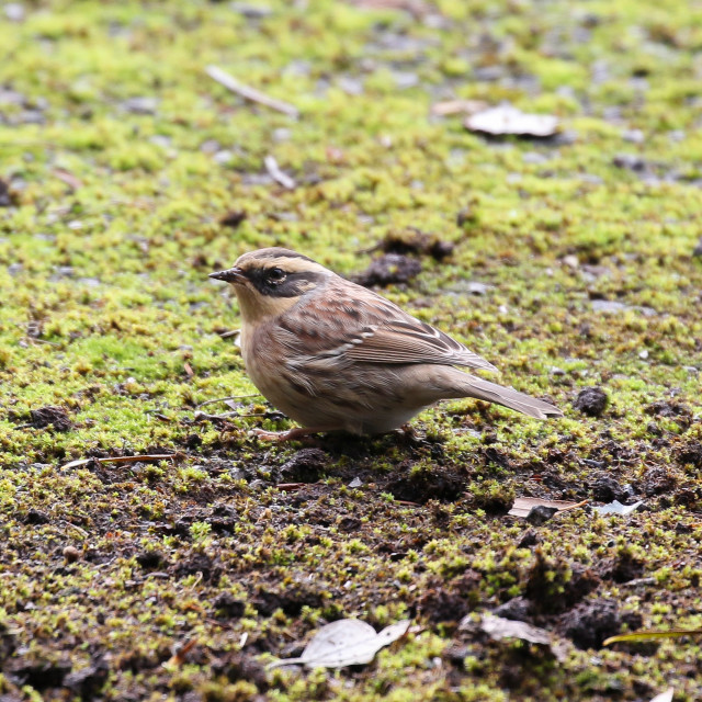 """Siberian Accentor"" stock image"