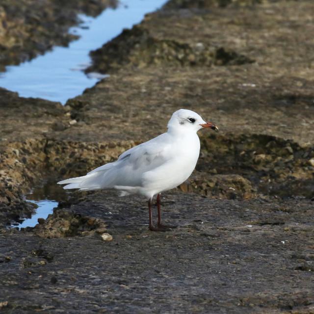 """Mediterranean Gull"" stock image"