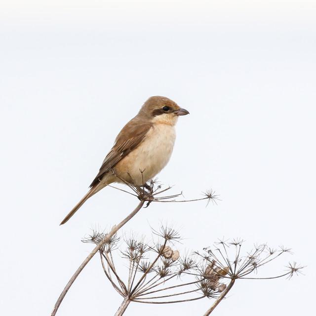 """Daurian Shrike"" stock image"