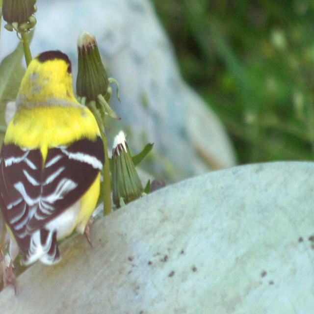 """""""American Gold Finch"""" stock image"""