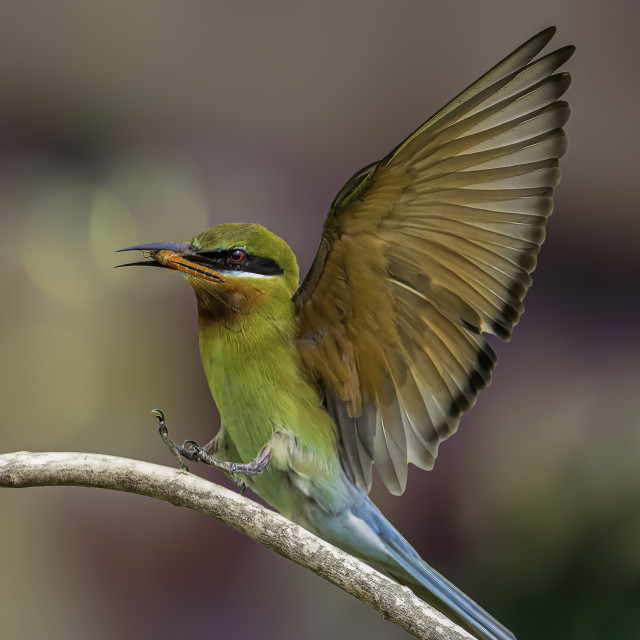 """""""Blue-taied bee eater"""" stock image"""